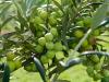 El abonado de los olivos