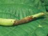 Los virus se aprovechan de la ausencia de una proteína para infectar a las plantas