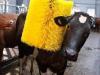 Confort y bienestar de la vaca lechera