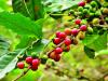 Cambio climático modificará zonas aptas para producir cafe