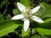 Cómo la bioestimulación facilita el cuajado y buen amarre de cultivos