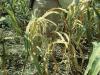 Nuevas y evolucionadas plagas agrícolas