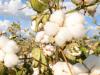 Algodón: Desarrollan variedades que permiten ahorrar un 30 % en herbicidas