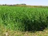 ¿Cuánto tiempo debe pasar entre dos cultivos sucesivos de alfalfa?