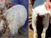 Algunos aspectos sobre el control de la coccidiosis ovina