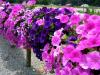 Investigadores descubren como las petunias deciden liberar sus aromas florales