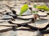 La clave para los cultivos tolerantes a la sequia puede estar en las hojas