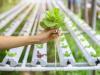 La oportunidad del cultivo hidroponico