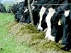 Suplementacion: el poroto de soja se puede aprovechar en la dieta de engorde