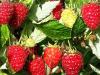 Produce frambuesa con acolchado plastico biodegradable