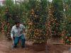 Cultivo y cuidado del Naranjo Enano