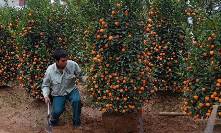 Cultivo Y Cuidado Del Naranjo Enano Universidad Agrícola