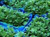 Fitopatogenos que fomentan el crecimiento de las plantas?