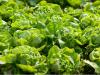 Mejoran la calidad de la lechuga modificando las condiciones de cultivo