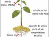 «Biofortificacion agronomica» para aumentar el nivel de selenio en los cultivos