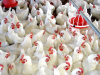 Producción Avícola: Recomendaciones para aumentar la rentabilidad