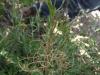 Uso de herbicidas suelo-activos para malezas de difícil control post-emergente en frutales