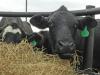 ¿Cuánto pasto debe comer un bovino?