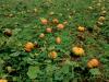 Malezas presentes en el cultivo de calabazas