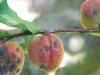 Fitopatología vegetal de última generación: Cómo hacer a las plantas más resistentes al ataque de patógenos