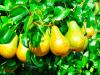 ¿Cómo se clasifican los árboles frutales?
