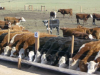 Feedlot y las claves de un plan sanitario