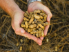 Como sembrar Mani, cultivo, cuidados y cosecha