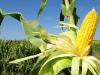 Todo lo que hay que saber sobre la siembra de maíz