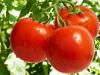 Preparación del suelo para la producción de tomate