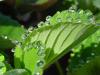 Gutacion: cuando las plantas sudan