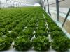 Como producir hortalizas en sistemas flotantes