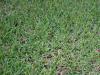 ¿Cómo plantar y cuidar el pasto de San Agustín?