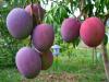 Clasificacion de los arboles frutales