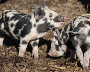 efecto d ela leche acida en cerdos lechones porcicultura