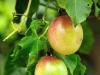 Pasiflora, Parchita o Maracuya (Passiflora edulis)