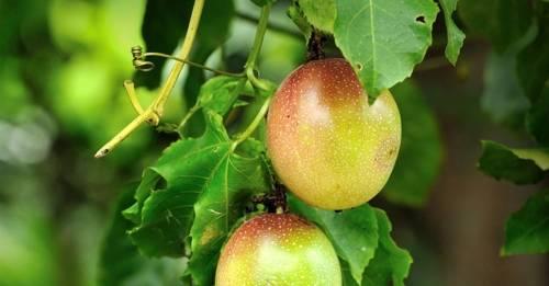 Parchita Maracuya Passiflora