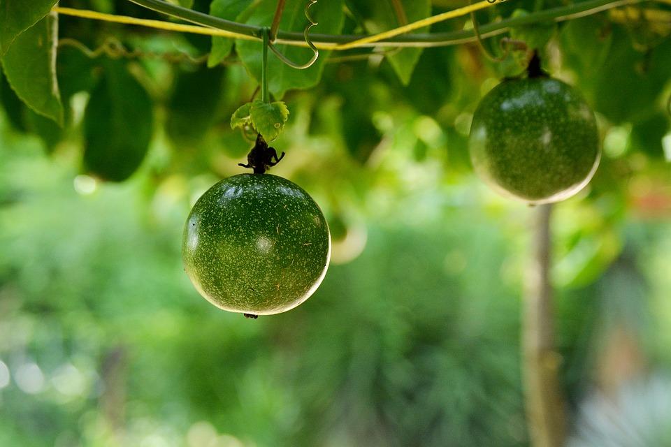 Usos de la Parchita Maracuya Passiflora