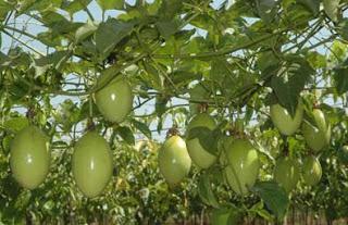 Parchita Maracuya Passiflora cultivo Frutales de importancia en la agricultura