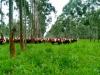 Integracion Ganaderia Forestales: Una opcion para aumentar la rentabilidad de la empresa agricola