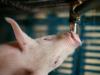 Gestion del agua en una granja de cerdos