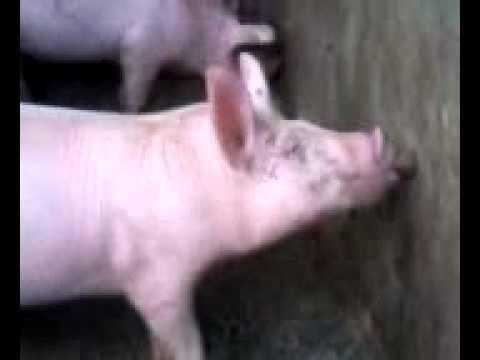 Agua en las granjas de cerdos porcinas