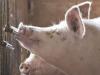 Importancia de la calidad del agua en las granjas porcinas