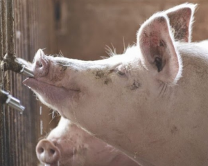 Importancia de la Calidad del agua en granjas porcinas