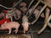 El destete temprano en las granjas porcinas
