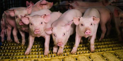 Destete temprano en cerdos lechones granjas porcinas
