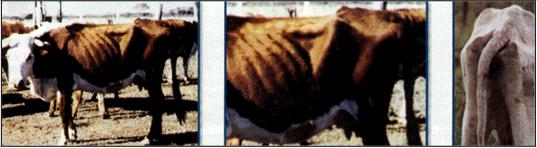 Foto Ganado bovino condicion corporal 1 muy flaco