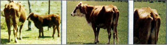 Fotografias Bovinos con Condicion Corporal 1,5 (2) - MUY DELGADA, CONSERVA FLACA