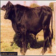Fotografias de Bovinos con Condicion Corporal 2 (3) - DELGADA, CONSERVA BUENA