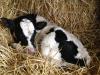 Las diarreas en terneros lactantes disminuyen la rentabilidad de la finca ganadera: Aprende a disminuirlas