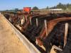 ¿Como se usa la urea en la alimentación de los bovinos?
